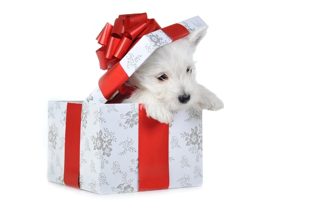 puppy in christmas gift box